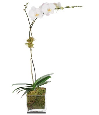 White Single-Stem Orchid Plant