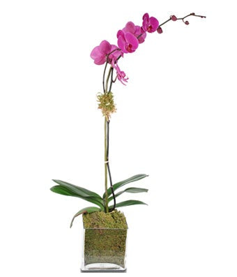 Purple Single-Stem Orchid Plant - H.Bloom