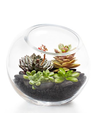 A Modern Succulent Fishbowl with four Modern Succulents and gravel or sand - H.Bloom