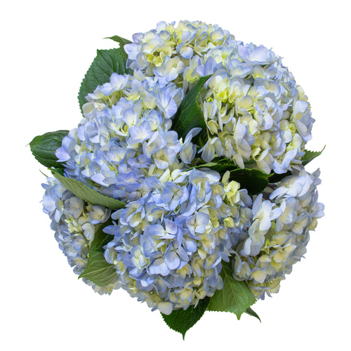 A cool bouquet of approximately 5 light blue premium hydrangea stems.
