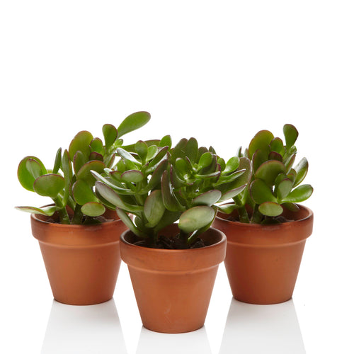 Potted Jade Trio