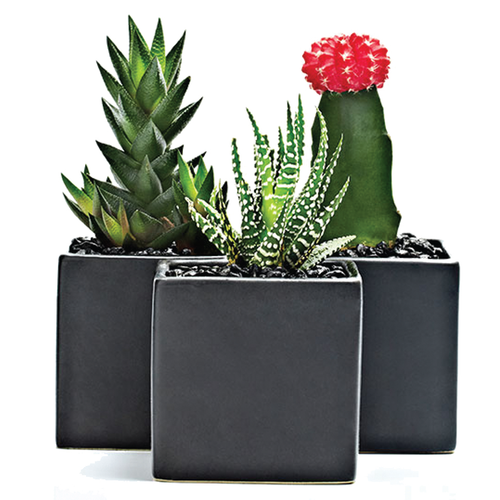 Potted Succulent Trio - H.Bloom