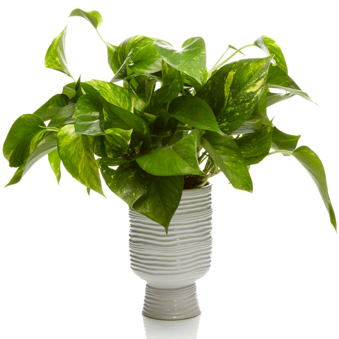 6-inch Pothos Plant in a White Ceramic Vase- H.Bloom