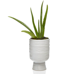 Luxury Aloe Vera Plant - H.Bloom