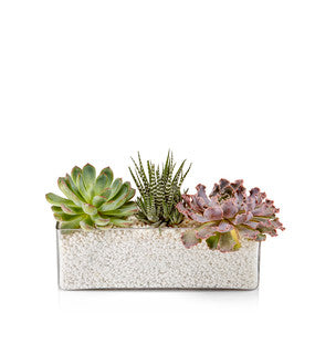 A rectangle glass vase filled with moss or white gravel and a trio of assorted premium succulents.