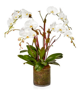 4-Stem White Phalaenopsis Orchid Plant - H.Bloom