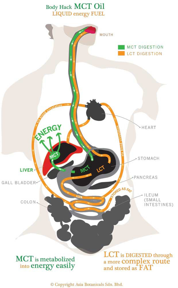 Body Hack MCT Oil fat digestion pathway chart @ Fuel Human Performance