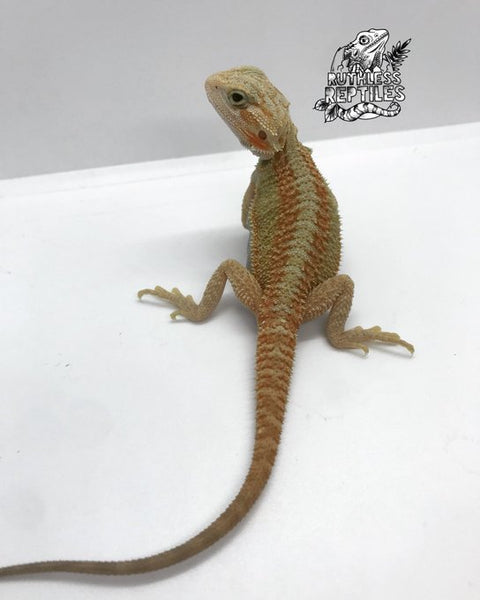 Hypo Trans Normal Scale Bearded Dragon (Genetic Stripe High Color)