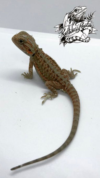 Hypo Trans Leatherback Bearded Dragon (High Color/Red)