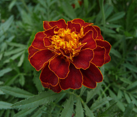 Tagetes patula, French Marigold - Tiger Eyes, dwarf double