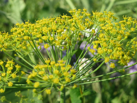 Anethum graveolens, Dill - Domino
