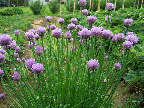 Allium Schoenoprasum, Chives -  Medium Leaved, Organic