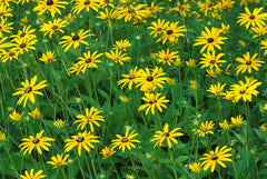 By Russ (black eyed susan dyke road) [CC BY 2.0 (http://creativecommons.org/licenses/by/2.0)], via Wikimedia Commons