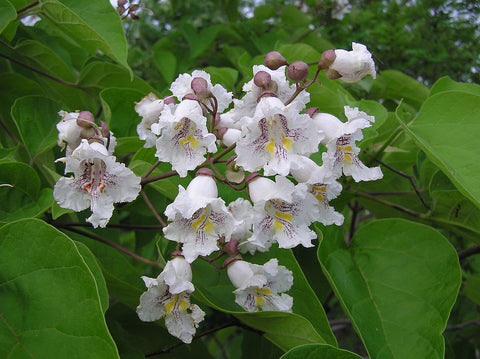 Catalpa bignonioides, Indian Bean Tree