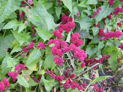 Chenopodium Capitatum, Strawberry Spinach / Blite, Beet Berry, edible
