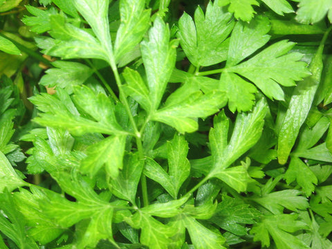 Petroselinum Crispum, Parsley, - Italian Giant, Organic
