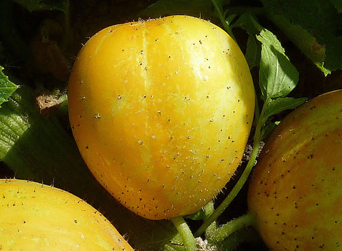 Cucumis Sativus, Cucumber - Lemon