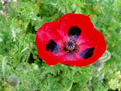 Papaver commutatum, Lady Bird Poppy