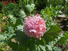 Papaver Somniferum, Peony Cream Poppy