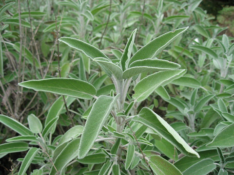 Salvia officinalis, English Sage