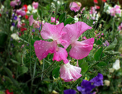 Lathyrus odoratus, Sweet Pea - Mammoth, mixed