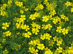 """Tagetes tenuifolia yellow"" by No machine-readable author provided. Goku122 assumed (based on copyright claims). - No machine-readable source provided. Own work assumed (based on copyright claims).. Licensed under CC BY-SA 3.0 via Wikimedia Commons."