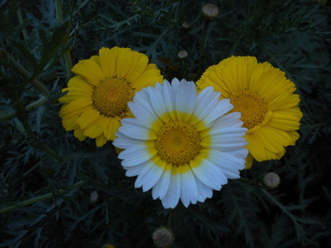 Chrysanthemum Coronarium, Chop Suey Greens - Double-Flowered Mix