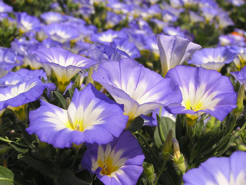 Convolvulus tricolor, Dwarf Morning Glory - mix