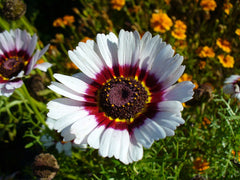 Ismelia Carinatum, Tricolor Chrysanthemum, Painted Daisy - Rainbow Mix