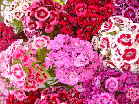 Dianthus Barbatus, Sweet William - Special Mixed