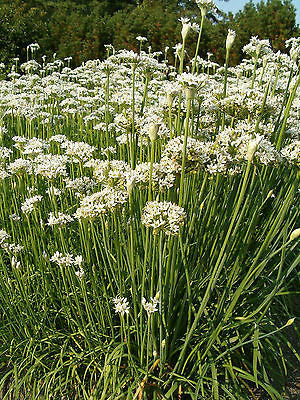 Allium tuberosum, Garlic Chives