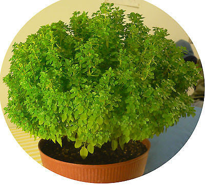 Ocimum basilicum var minimum, Greek Basil, Bush Basil, untreated