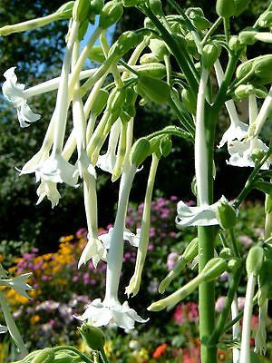 Nicotiana sylvestris, 'Only The Lonely' Flower