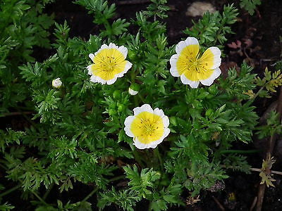 Limnanthes Douglasii, Poached Egg Plant, Douglas' Meadowfoam