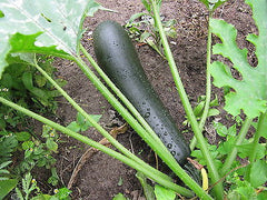 Cucurbita pepo, Courgette - Black Beauty