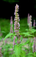 "Photo ""Agastache mexicana Prague 2014 3"" by Karelj - Own work. Licensed under CC BY-SA 3.0 via Wikimedia Commons."