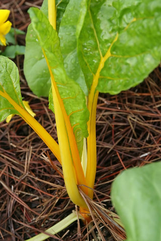 Beta Vulgaris flavescens, Beet Leaf, Chard - Yellow Lyonner
