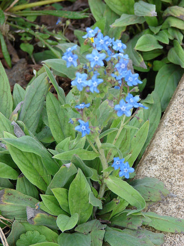 Cynoglossum amabile, Chinese Forget-me-not - Firmament