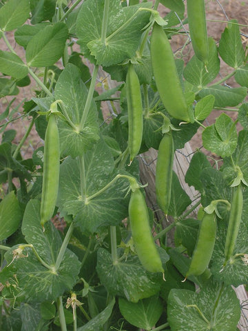 Pisum Sativum, Garden Pea - Onward (2nd early)