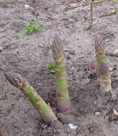 Asparagus officinalis, Asparagus - Connovers Colossal, untreated