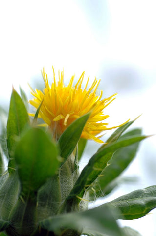 Carthamus Tinctorius, Safflower - Grenade Yellow