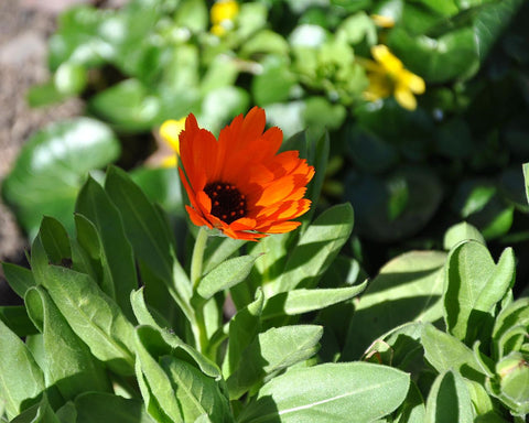 Calendula Officinalis, Pot Marigold - Red, Black centred, double