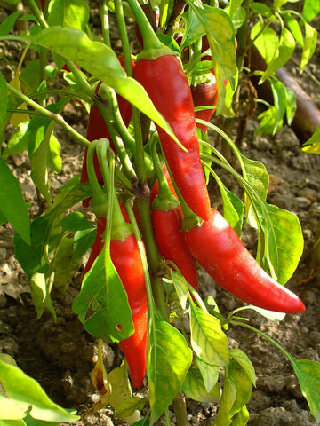 Capsicum Annuum, Cayenne Pepper, untreated