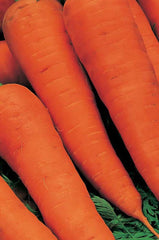 Daucus carota, Carrot - Autumn King 2, Organic
