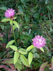 By Joan Simon from Barcelona, España - Centaurea nigra, CC BY-SA 2.0, https://commons.wikimedia.org/w/index.php?curid=48223088