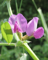 By Phil Sellens from East Sussex (Common Vetch (Vicia sativa)) [CC BY 2.0  (https://creativecommons.org/licenses/by/2.0)], via Wikimedia Commons
