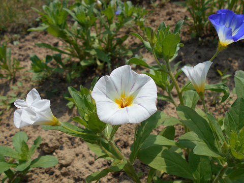 Convolvulus tricolor, Dwarf Morning Glory - white