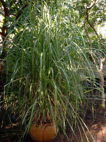 Cymbopogon flexuosus, East Indian Lemon Grass