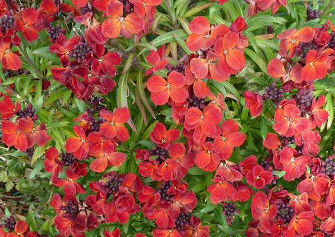 Erysimum cheiri x, Wallflower - Ruby Gem