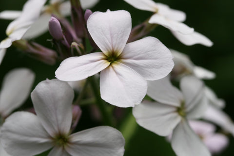 Hesperis matronalis alba, Sweet Rocket - White
